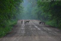 Rodzina wilków na jednej z dróg puszczanskich