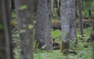 Białowieska kuna leśna