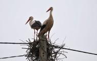 Bociany zakładające gniazdo w lipcu w Białowieży