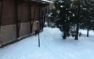 Atakujący białowieski żubr
