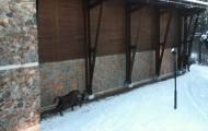 Żubry białowieskie potrafią szybko ruszyć do ataku