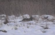 Bialowieski wilk