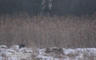 Bialowieskie wilki