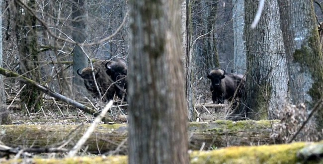 Żubry z Rezerwatu Ścisłego w Białowieży