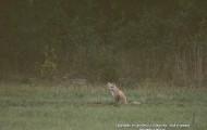 Białowieski lis