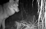 Białowieski wilk